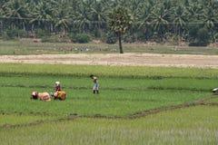 Команды работников на индийской плантации риса стоковое фото rf