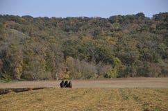 Команда 3 лошадей вспахивая поле Стоковая Фотография