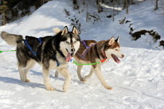 Команда сибирских собак скелетона вытягивая скелетон до зима f стоковая фотография