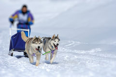 Команда сибирских собак скелетона стоковое фото rf