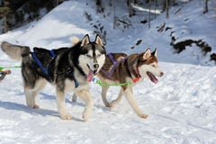 Команда сибирских собак скелетона стоковая фотография