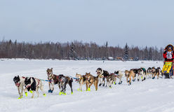 Команда 2015 собаки Iditarod Стоковые Фото