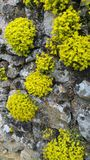 Комки желтых заводов rockery на старой каменной стене Стоковые Фотографии RF