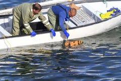 Коммерчески атлантические канадские жатки рыб собирая атлантического омара Стоковые Изображения RF