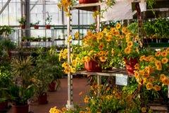 Коммерчески магазин парника продавая цветки петуньи и другие заводы в цветочных горшках стоковые изображения