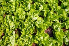 Поле салата Bibb Стоковое Изображение RF