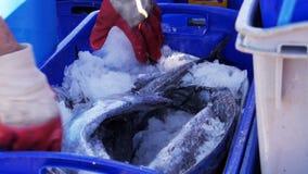 коммерчески рыболов подготавливает клеть рыб видеоматериал