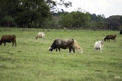 Коммерчески скотины пася на южном выгоне Стоковое Изображение RF