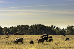 Коммерчески табун скотин в выгоне засухи Стоковая Фотография RF