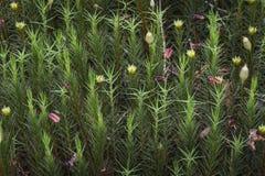 Коммуна Polytrichnum на лесе Torbreck в Шотландии стоковая фотография rf