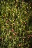 Коммуна Polytrichnum на лесе Torbreck в Шотландии стоковые изображения