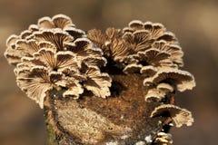 Коммуна Schizophyllum стоковые фотографии rf