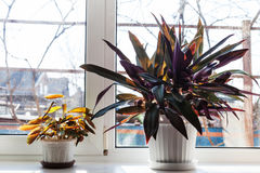 2 комнатного растения в белых баках на силле окна Стоковое фото RF