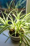 комнатное растение в баке загоренном светом солнца стоковые фотографии rf