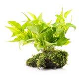 Комнатное растение с мхом стоковая фотография