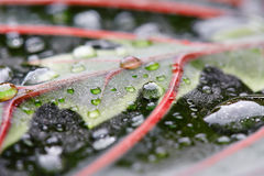 Комнатное растение Maranta Стоковое Изображение