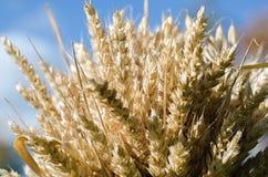 Комок пшеницы стоковое фото rf