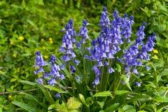 Комок Bluebells весной стоковые изображения rf
