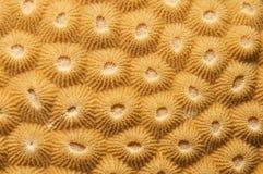 компактная текстура коралла Стоковые Фото