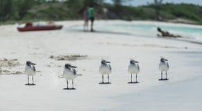 Компановка 5 чайок на пляже белого песка тропическом Стоковое Изображение RF
