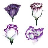 Комплект акварели Eustoma цветков Стоковые Фотографии RF