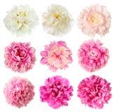 Комплект белых и розовых цветков пиона Стоковые Изображения