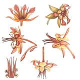 Комплект ботанической иллюстрации Какао акварели цветет собрание изолированное на белой предпосылке Какао нарисованное рукой экзо иллюстрация вектора