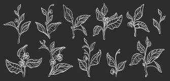 Комплект ветвей куста чая вектор реалистическо иллюстрация штока