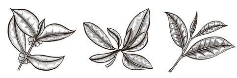 Комплект ветви кофе Стоковые Изображения RF
