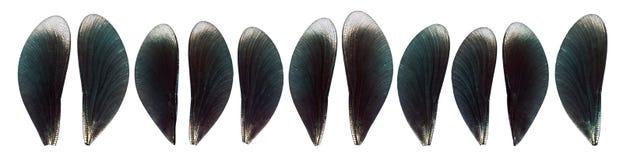 Комплект голубых, мерцающих изолированных крылов мухы dargon Стоковые Фотографии RF