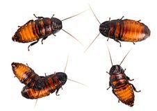 Комплект изолированного таракана на белой предпосылке Таракан Мадагаскара крупного плана шипя изолированный на белой предпосылке Стоковая Фотография