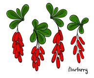 Комплект изолированных хворостин или ветви барбариса Пуки красных ягод и листьев барбариса Стоковые Изображения