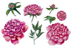 Комплект картины маслом пионов цветет пион Стоковая Фотография RF