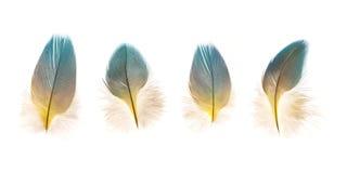 Комплект красивых хрупких изолированных пер птицы попугая Стоковое Изображение RF