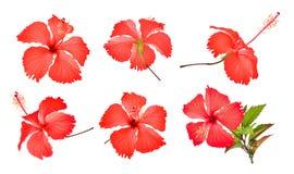 Комплект красных гибискуса или цветка chaba изолированных на белизне Стоковые Изображения