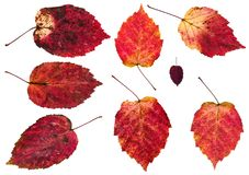 комплект красных изолированных листьев осени дерева ольшаника Стоковая Фотография