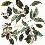 Комплект лимона цитруса вектора нарисованного рукой реалистического цветет для desi Стоковые Фото