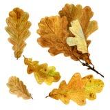 Комплект листьев дуба осени акварели стоковые фото