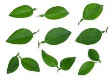 Комплект лист зеленого цвета лимона при вода dorp изолированная на белизне стоковые фотографии rf