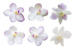 Комплект обзора белых цветков орхидеи изолированных на белом Backgroun Стоковое фото RF