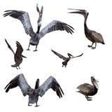 комплект пеликана Стоковые Фотографии RF