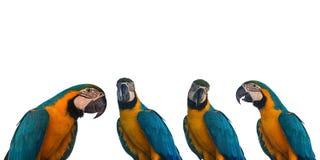 Комплект попугая ары на белой предпосылке Стоковая Фотография RF
