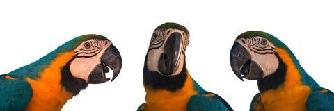 Комплект попугая ары на белой предпосылке Стоковое фото RF