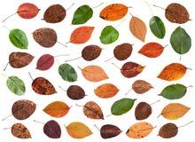 комплект различных листьев груши, яблони, яблонь Стоковые Фото