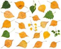 комплект различных листьев изолированных деревьев березы Стоковые Изображения