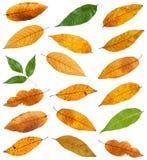 комплект различных листьев изолированных деревьев золы Стоковая Фотография RF