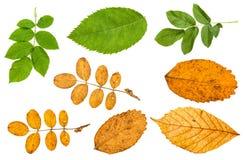 комплект различных листьев изолированных заводов собак-Розы Стоковое фото RF