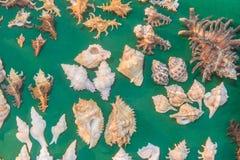 комплект различных раковин моря на зеленой предпосылке Взгляд сверху Стоковые Изображения RF