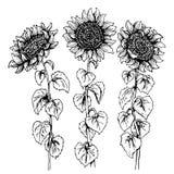 Комплект 3 солнцецвета нарисованного руками графического изолированного на белизне иллюстрация штока