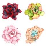 Комплект составов акварели сделанных из суккулентных цветков Стоковая Фотография